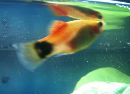 小鱼怎么分公母啊图片