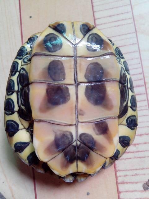 乌龟品种鉴别 能帮我看看这是什么品种的乌龟吗 提供联系方式,我发
