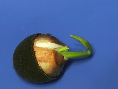 荷花种植,盆直接30厘米,一个盆里种植几颗荷花