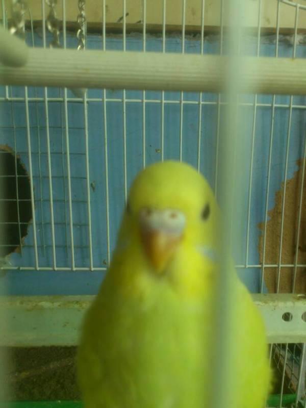 这只黄化虎皮鹦鹉是公还是母图片
