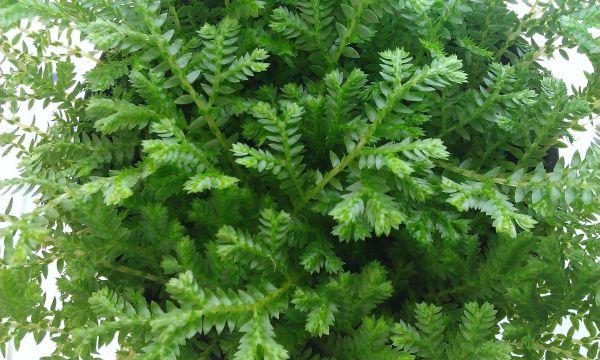 求图片中这一绿植盆栽的名称及相关情况