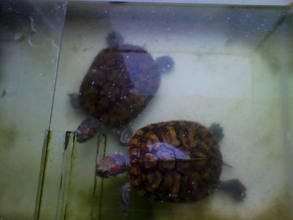 龟怎么分公母 急图片