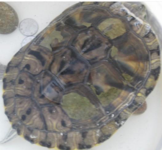 正常吗 这乌龟头部分白色东西怎么回事 这龟是什么品种