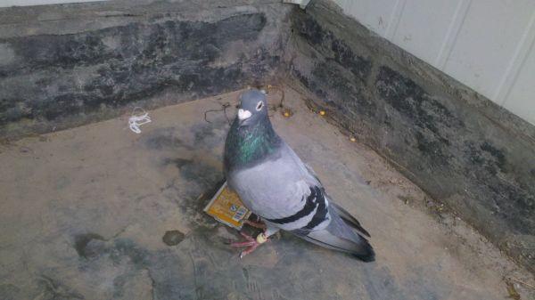 鸽子配对分不清公母,图,请帮帮忙看下吧图片