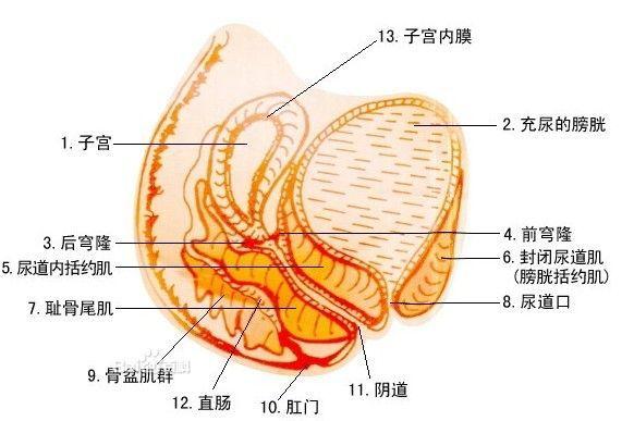充盈的膀胱压迫子宫