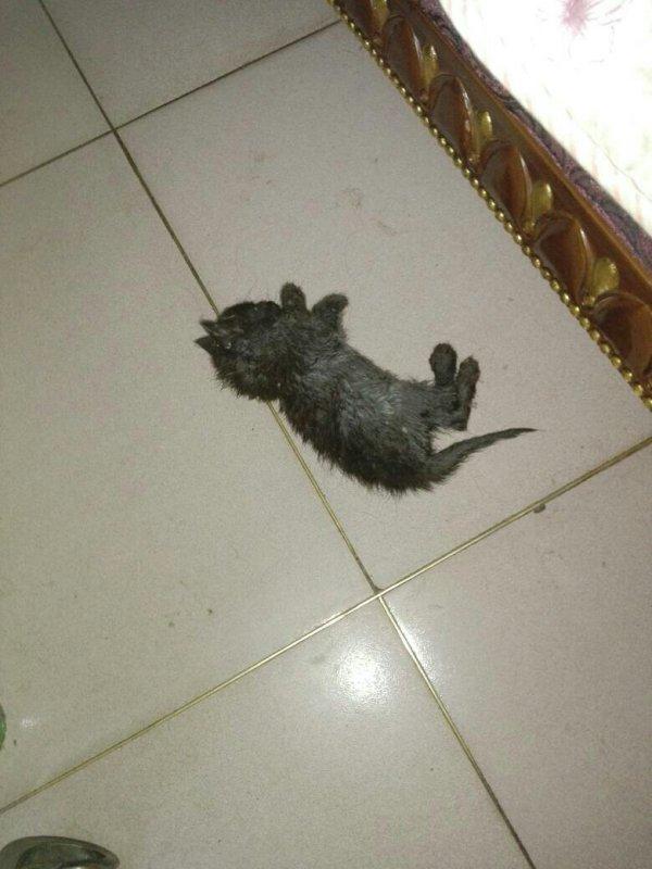刚生的小猫,一个月多点,被狗舔的很虚弱,怎么办