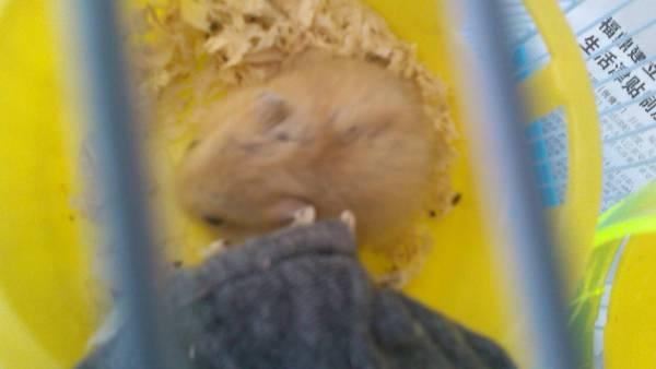 小仓鼠这个样子是怀孕了吗
