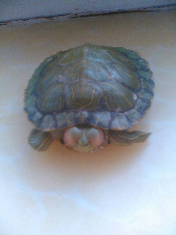 龟龟得了白眼病,怎么办,急急,我真的不想让它死