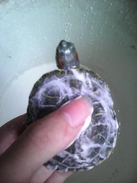 红芫龟长得是什么样子