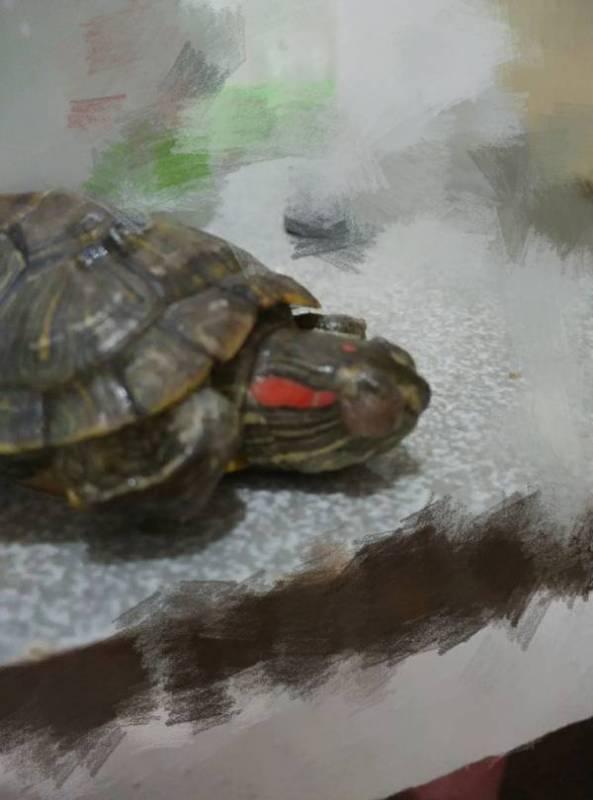 小乌龟得了白眼病怎么办
