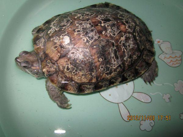 这是什么品种的乌龟