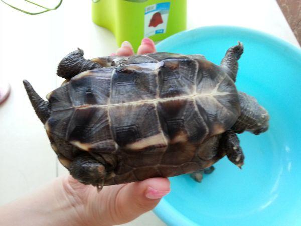 长寿龟怎么分公母,平时怎么养图片