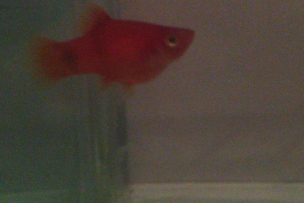 这不是红剑这是米奇鱼.公母的话看腹鳍图片