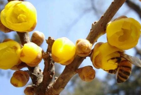 腊梅树图片